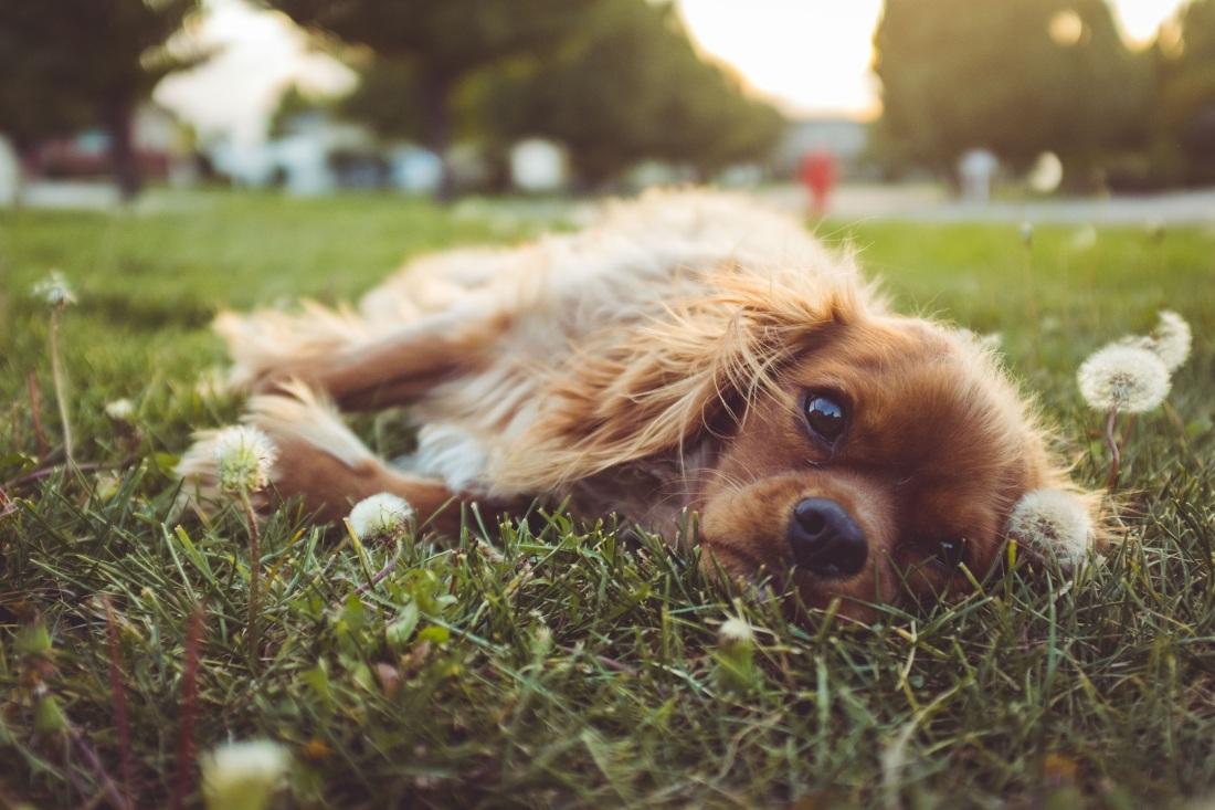 dandelion puppy